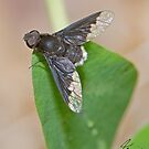 Bee Fly IMG_1998 by DigitallyStill