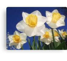 The Daffs Are Back In Town Canvas Print