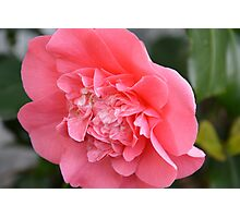 The Pink Camellia Photographic Print
