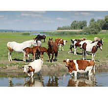 farm animals on river Photographic Print