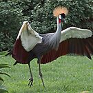 Crownd Crane  (Balaerica regulorum) by Warren. A. Williams
