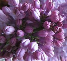 Lovely Little Lilacs by trueblvr