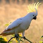 Sulphur - Crested Cockatoo by Trish Threlfall