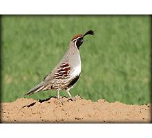 Gambel's Quail (Male) Photographic Print