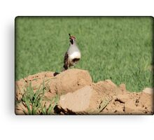 Quail Watch Canvas Print
