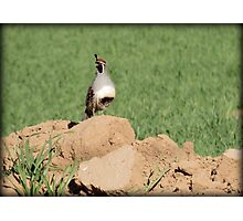 Quail Watch Photographic Print