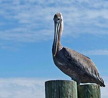 A Funny Bird Is The Pelican......... by phil decocco