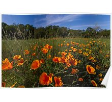 Poppies!! Poster