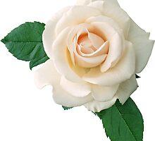 WHITE ROSE by Olga Chetverikova
