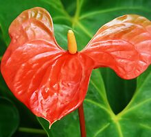 ANTHURIUM FLOWER CAPTURE by ╰⊰✿ℒᵒᶹᵉ Bonita✿⊱╮ Lalonde✿⊱╮