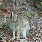 Male Eastern Cottontail by Lee Hiller