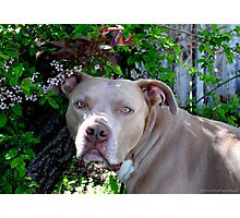 Portrait of a Pit Bull Photographic Print