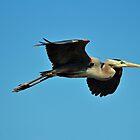 Great Blue Heron In Flight by Cynthia48