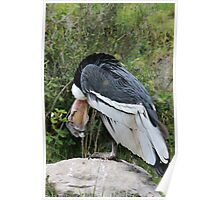 Male Andean Condor Looking Down Poster