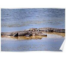 Gators Napping Poster