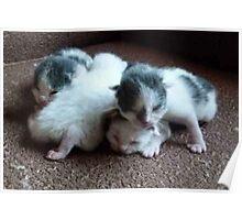 4 Little Kittens  5 days old Poster