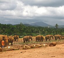 Elephant herd by Erika Price