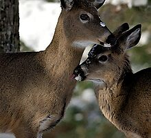 Whitetail Deer Yearlings by Oldetimemercan