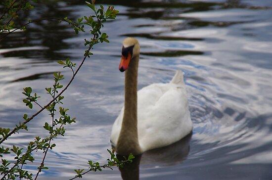 Young Swan by lezvee