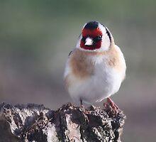 Goldfinch by Mandy Elizabeth  Rush