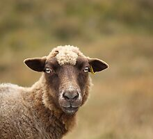 Sheep of Melvaig by Mandy Elizabeth  Rush