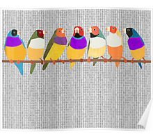 Lady Gouldian Finches Poster