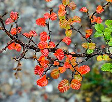 Fagus by Harry Oldmeadow