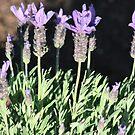 Lavender... by natgirl73