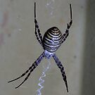 Spider.St Andrews Cross-0992 by Murray Wills
