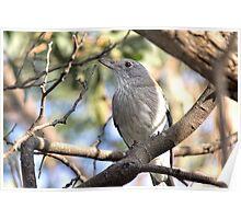 Female Grey Shrike-thrush Poster