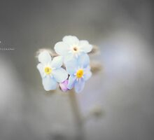 """"""" Forget Me Not """" by Richard Couchman"""