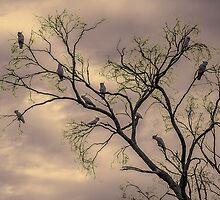 Barren Kookaburras by robstokoe