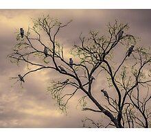 Barren Kookaburras Photographic Print