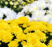 chrysanthemum flower Sticker