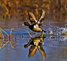 2014 March Ring Necked Duck No 1 by Rick  Grisolano Photography LLC
