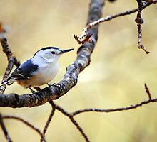 Nuthatch by Jody Johnson