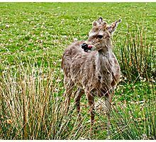 Fawn (4) Colour Photographic Print