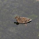 Female Mallard Duck by Marie Van Schie