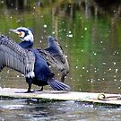 Cormorant Tanning  by Sparowsong