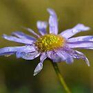 Daisy Shower by shalisa