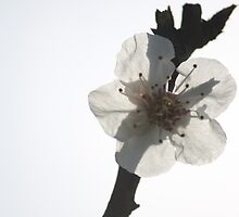 Apricot Blossom by tarajo