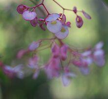 Angel Wing Begonia. by Elisabeth Thorn
