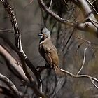 Crested Bellbird (male) by mosaicavenues