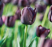 Black Tulip by BonniePhantasm
