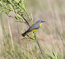 Eastern Yellow Robin by Steve Bass