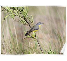 Eastern Yellow Robin Poster