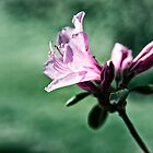 Azalea Bloom by KellyHeaton