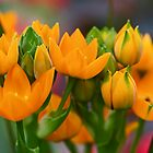 Orange Stars - Floral - Ornithogalum Dubium - Sun Stars by MotherNature