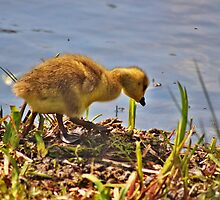 Canadian Goose at park. Gosling by CreativeDreamin