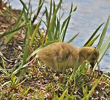 Gosling looking for food. Canadian Goose by CreativeDreamin